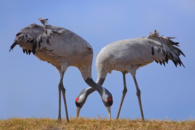 Kraanvogel, Grus-grus, het voeden gras, twee grote vogel in de aardhabitat, Meer Hornborga, Zweden stock afbeeldingen