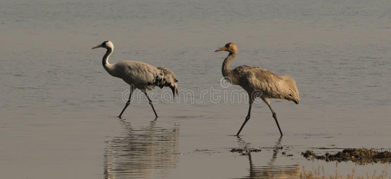 Kraanvogels - Weinig Rann van Kutch stock afbeeldingen