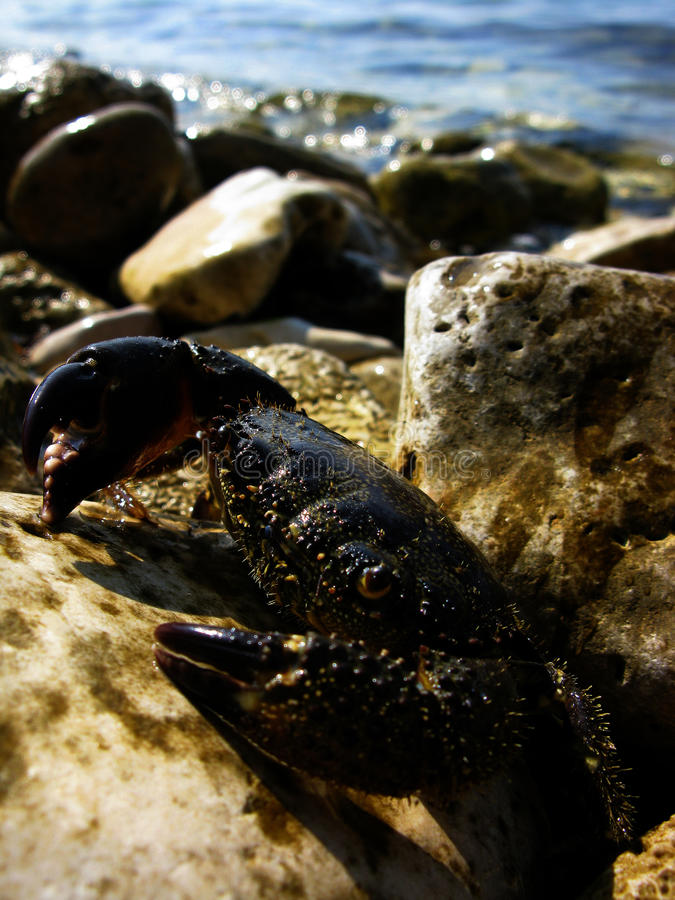 krab obraz stock