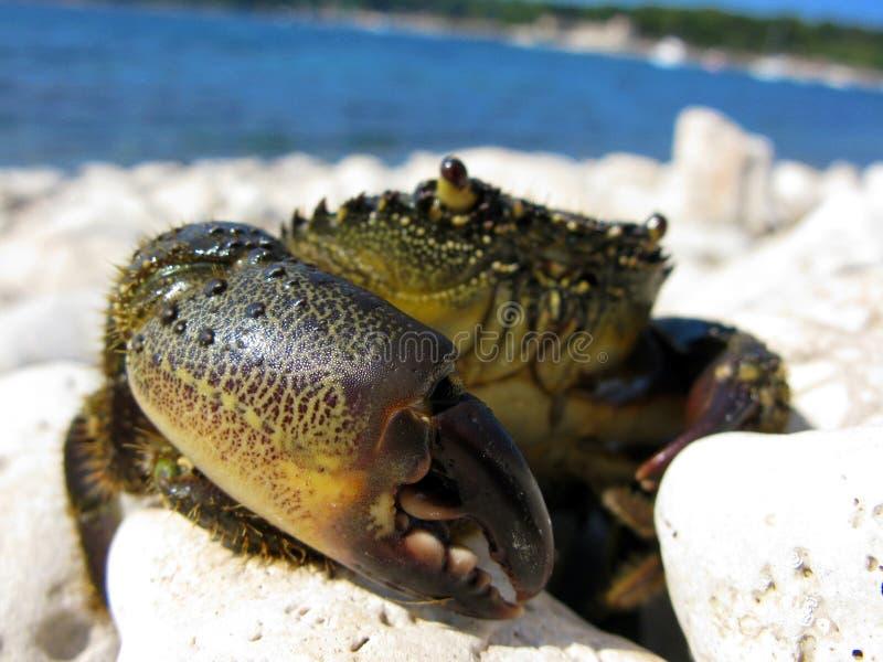 Krab stock foto