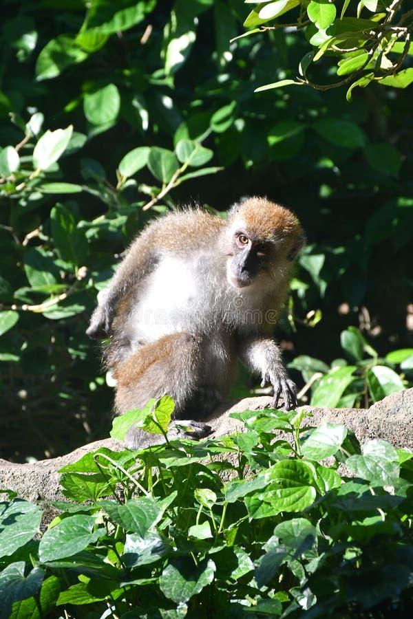 Krab die macaque aap eet royalty-vrije stock foto's