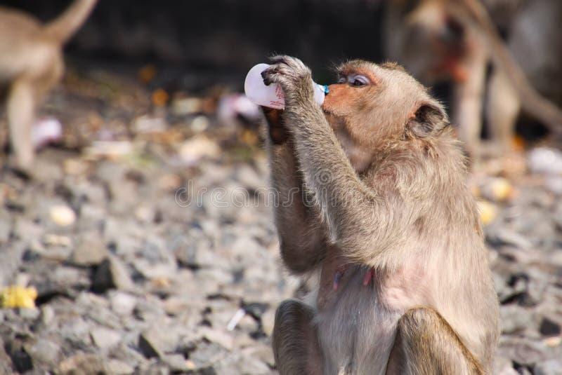 Krab die macaque Macaca-fascicularis eten die yoghurt van plastic fles in aapstad Lopburi drinken, het noorden van Bangkok, Thail royalty-vrije stock fotografie