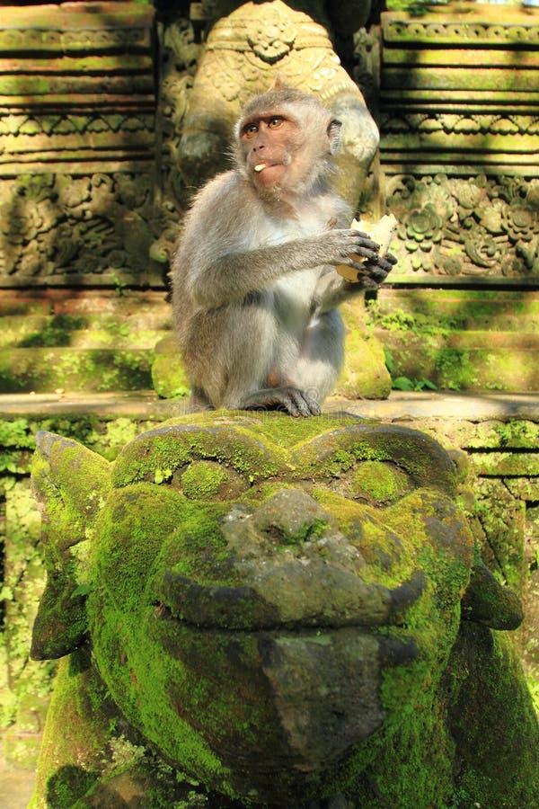 Krab die Macaque, Ubud-Aaptempel, Bali, Indonesië eten royalty-vrije stock afbeeldingen