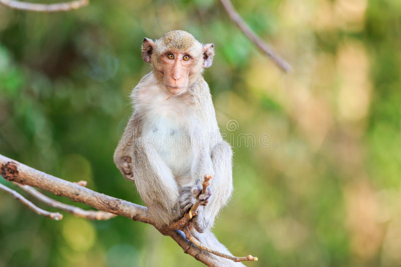Krab-Eet aap (macaque) op boom stock afbeelding