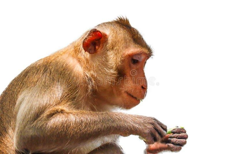 Krab-etend geïsoleerde Macaque stock afbeelding