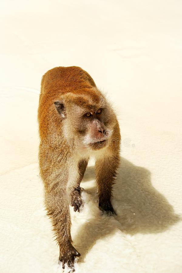 Krab-etend macaque voor voedsel bij het strand op Phi Phi Don Island, stock fotografie