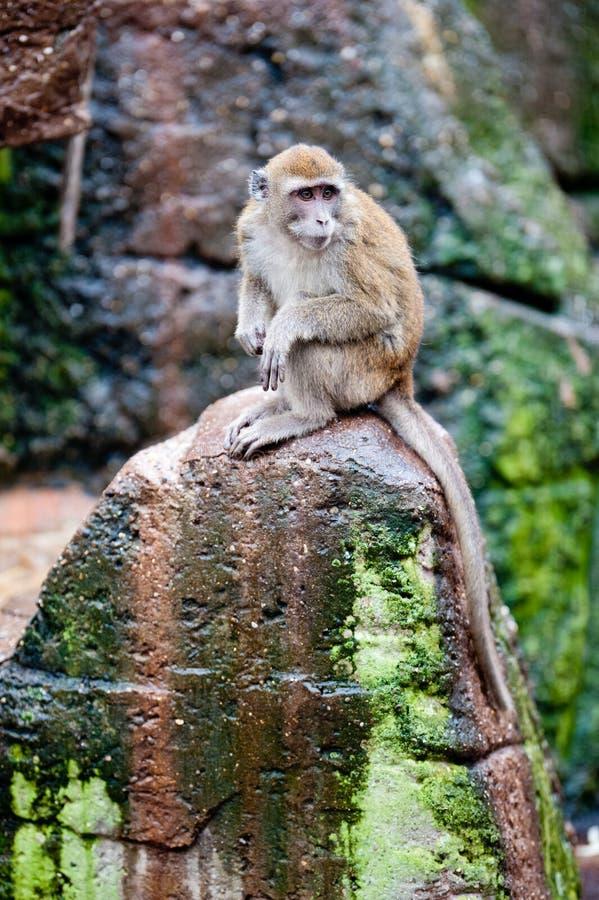 Krab-etende Macaque royalty-vrije stock afbeeldingen