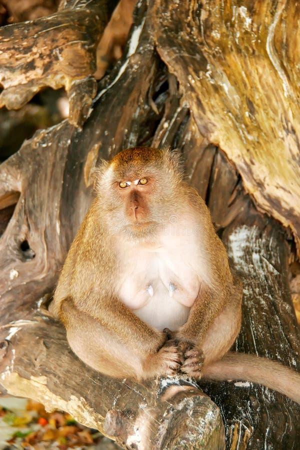 Krab-etende macaque zitting bij het strand op Phi Phi Don Island, stock afbeeldingen