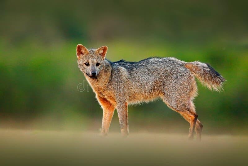 Krab-etende vos, de thous, bosvos van Cerdocyon, houten vos of Maikong Wilde hond in aardhabitat Het portret van de gezichtsavond royalty-vrije stock foto