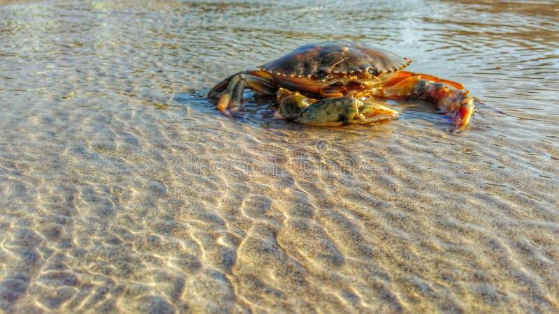 Krab im Strand stockbilder