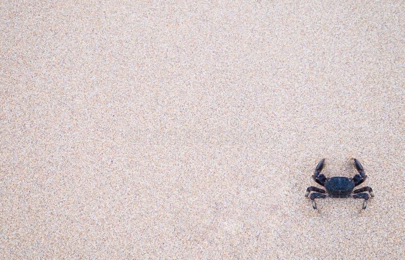 Krab jest jest dziesięcionogów crustaceans które typowo bardzo krótkiego wypustowego ` ogonu `, infraorder Brachyura, zazwyczaj e obrazy royalty free