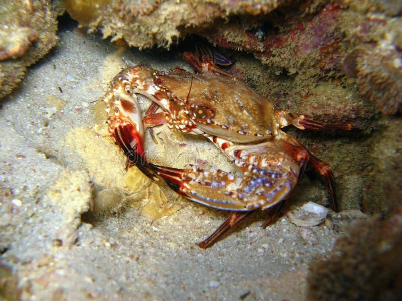 Krab in koraalrif stock fotografie