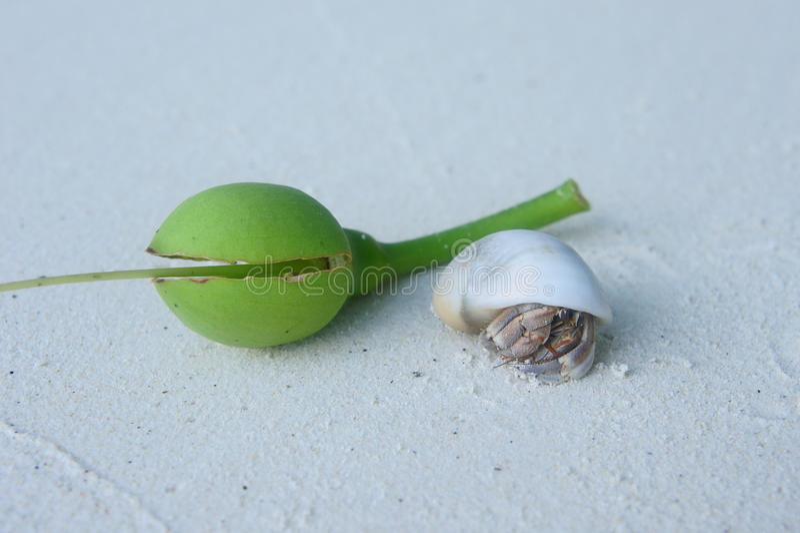 Krab levend op shell wit zandstrand Thailand stock afbeelding