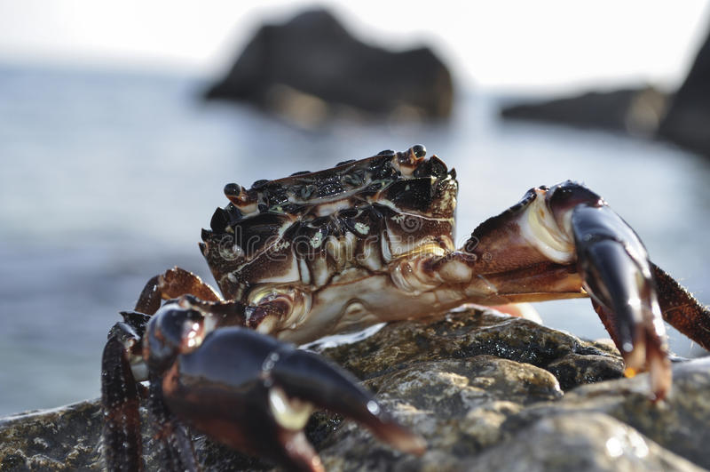 Krab na tła morzu zdjęcia royalty free