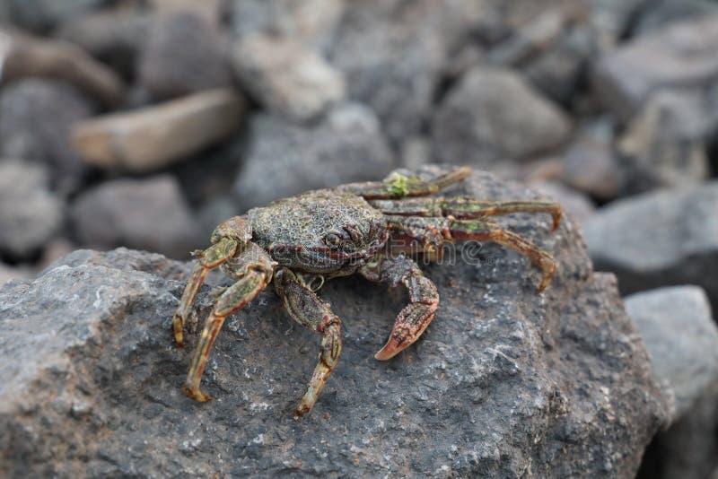 Krab na vulcanic kamieniach przy plażą obraz royalty free
