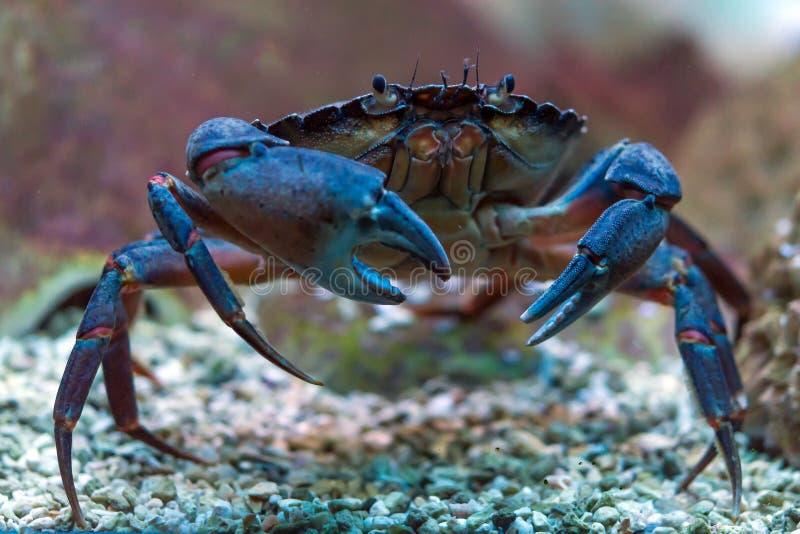 Krab onderwater stock afbeeldingen