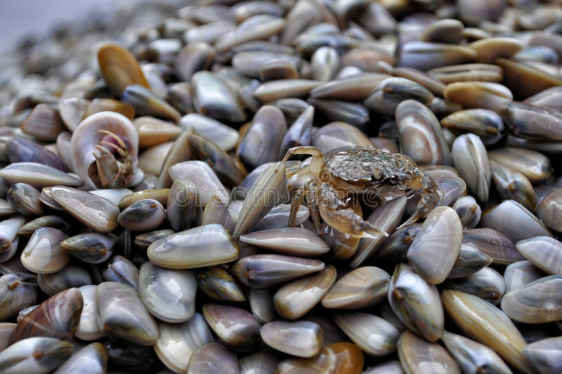 Krab op de bovenkant van shells royalty-vrije stock fotografie