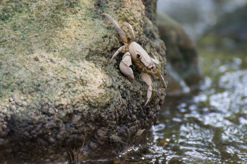 Krab op de rots royalty-vrije stock afbeelding