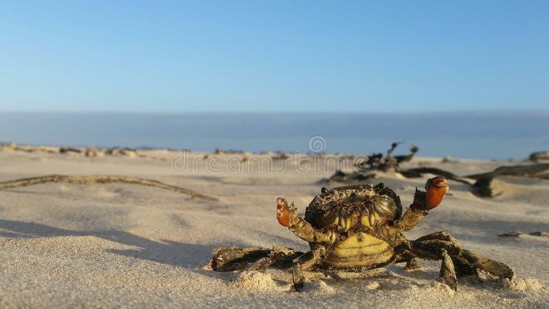 Krab op het strand stock fotografie