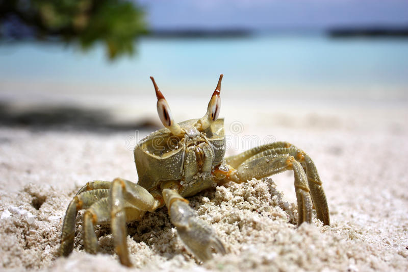 Krab op het strand bij de zonnige dag stock fotografie