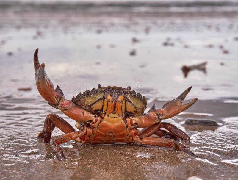 Krab przy plażą obrazy royalty free