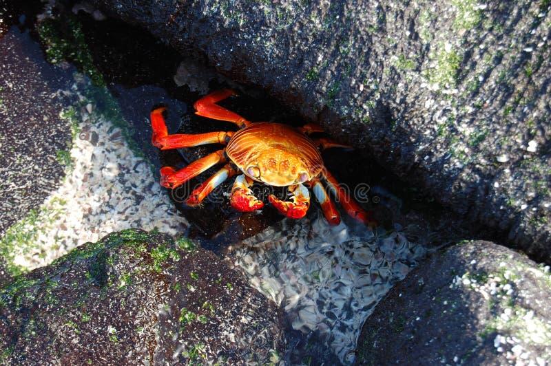 Krab Sally-Lightfoot in de Galapagos stock fotografie