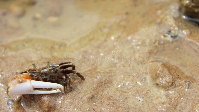 krab trochę zdjęcie royalty free