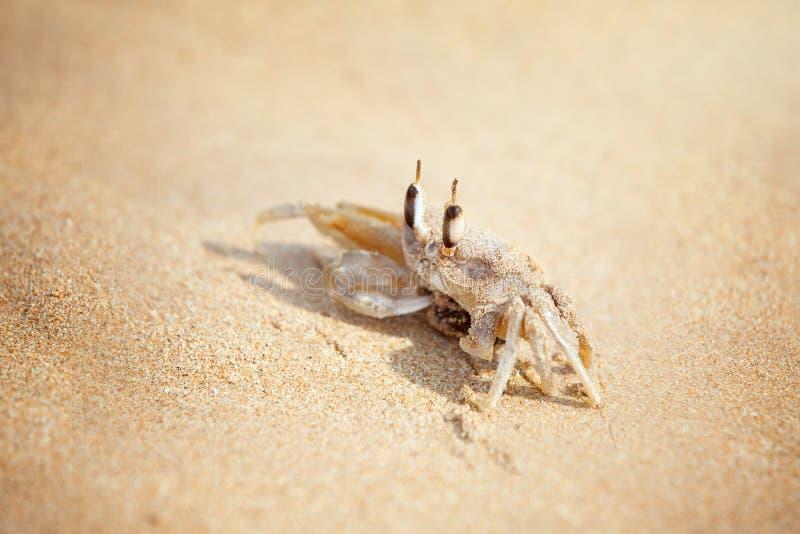 Krab wygrzewa się na piaskowatej plaży fotografia royalty free