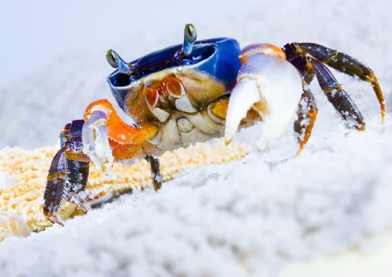 kraba obrazy royalty free