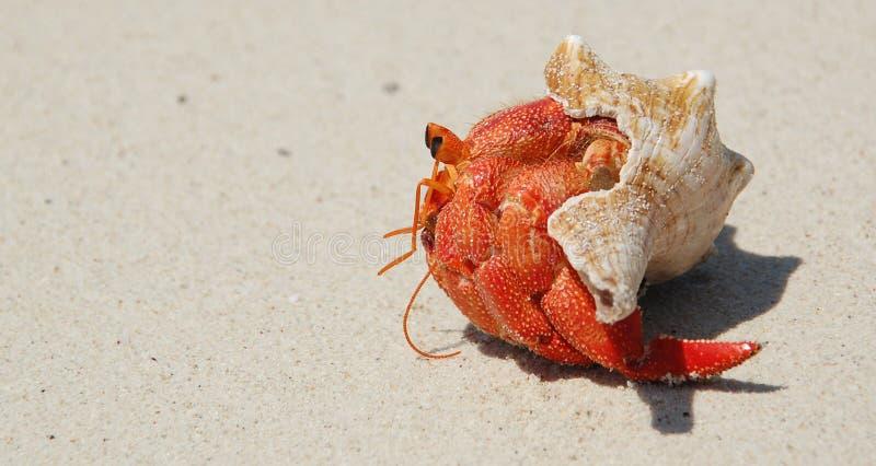 kraba eremita Tanzania Zanzibar obrazy stock