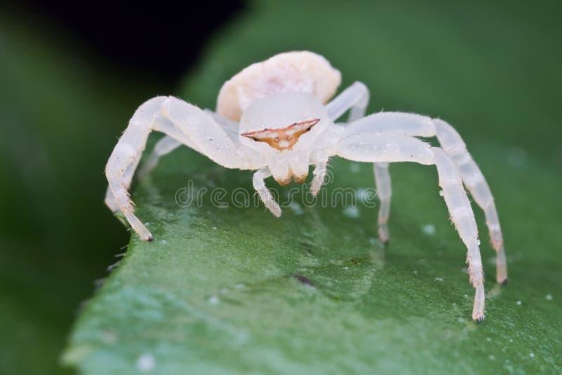 kraba pająka biel zdjęcia royalty free
