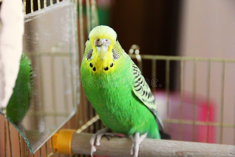 Krabb papegoja i en bur royaltyfri bild