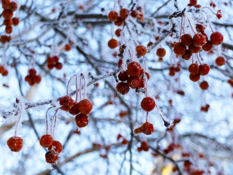 Krabbaäpplen på filialer i vintern arkivbilder