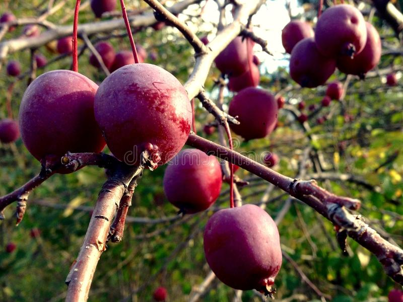 Krabba Apple på träd arkivfoton