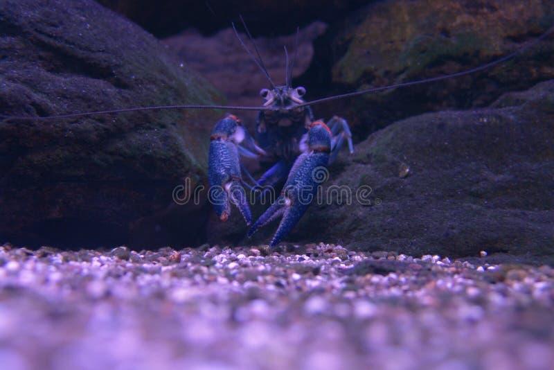 Krabba i en ström royaltyfri bild