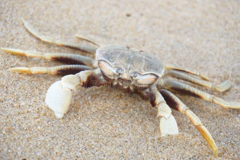 Krabba på kusten arkivbilder