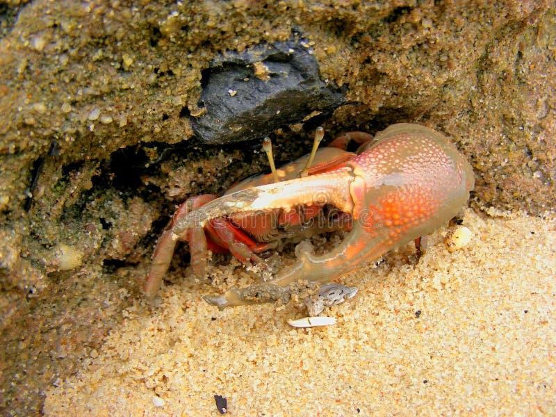 Krabba på mangroveskogen royaltyfri fotografi