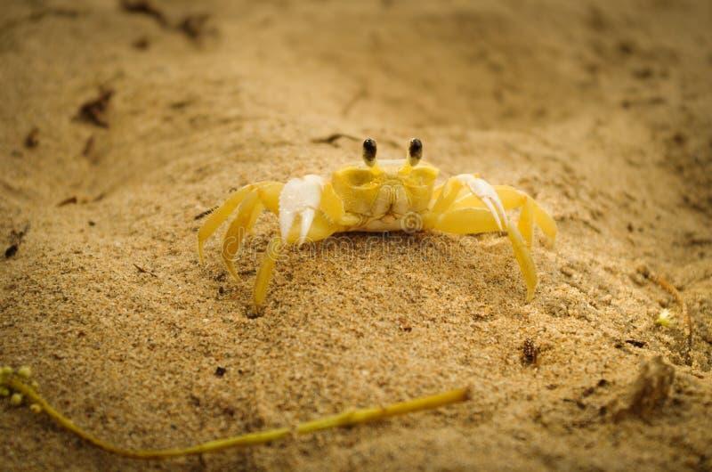 Krabba på sand arkivbild