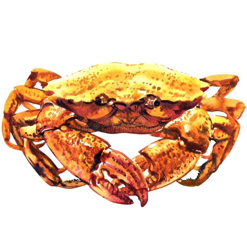 Krabba skaldjur, ny skaldjur, lagad mat dungenesskrabba, göra ett hack i gyttjakrabba som isoleras, vattenfärgillustration på vit vektor illustrationer