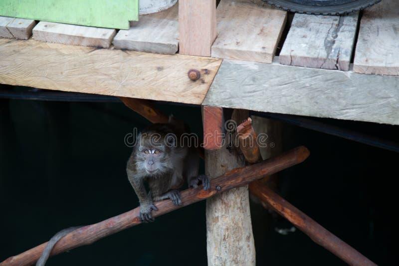 Krabba som äter macaqueapan fotografering för bildbyråer