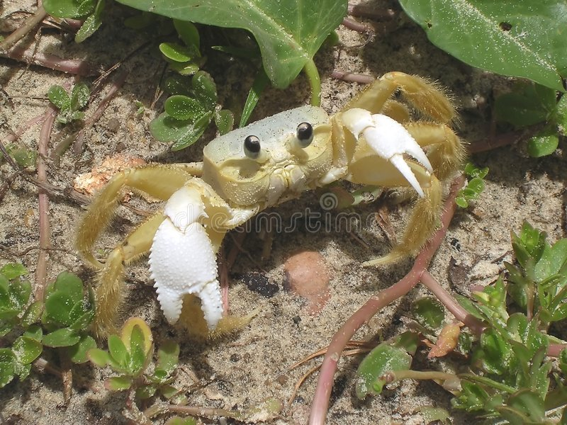 krabba som stirrar dig royaltyfri fotografi