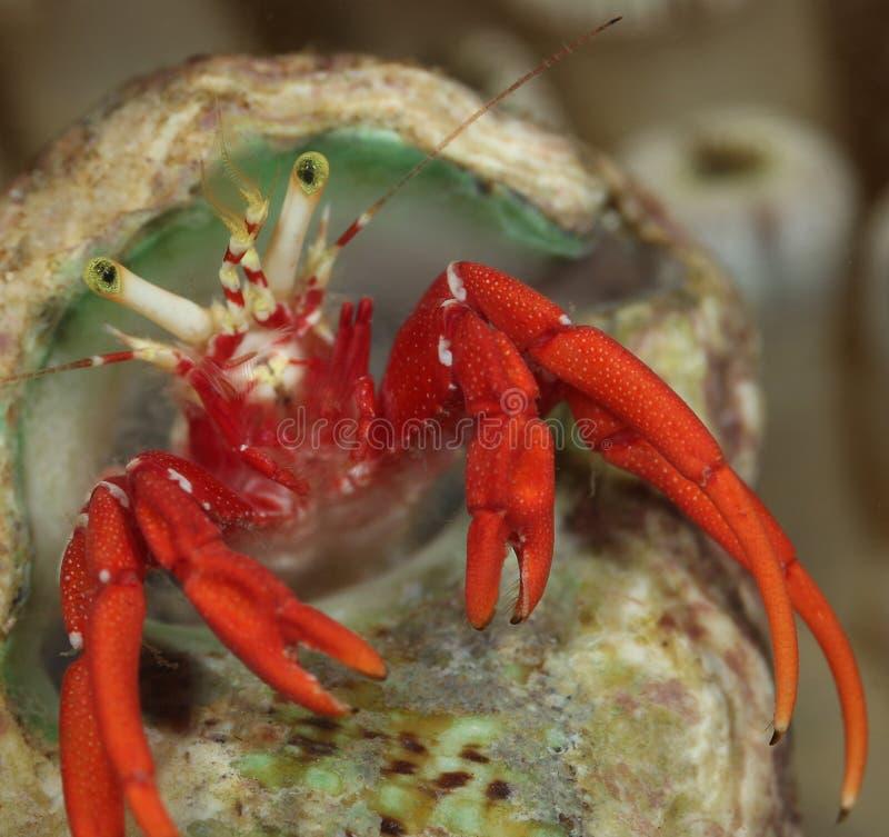 krabbaensling royaltyfri bild