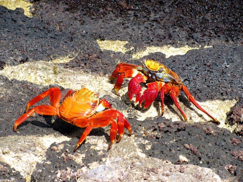 krabbaslagsmål galapagos arkivbild