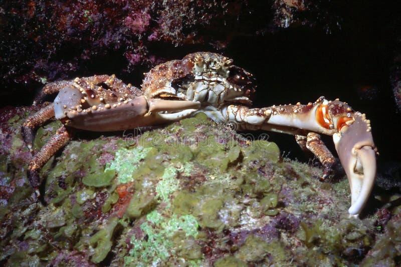 krabbaspindel royaltyfri foto