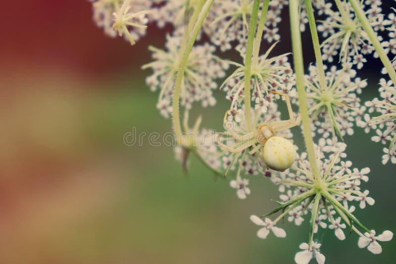 Krabbaspindel på den vita blomman royaltyfria foton