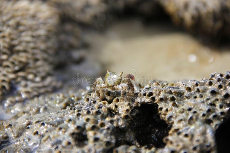 Krabbe auf den Felsen eines Strandes lizenzfreie stockbilder