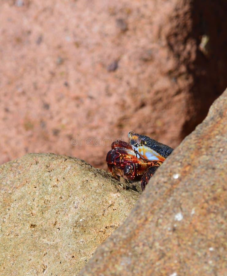 Krabbe, die auf Felsen steht lizenzfreies stockbild