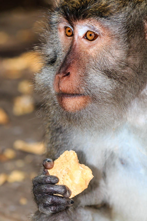 Krabbe, die Makaken isst lizenzfreie stockfotos