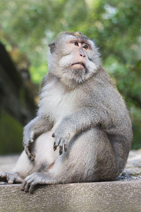 Krabbe-Essen des Makakens oder des langschwänzigen Affen des Balinese stockbilder