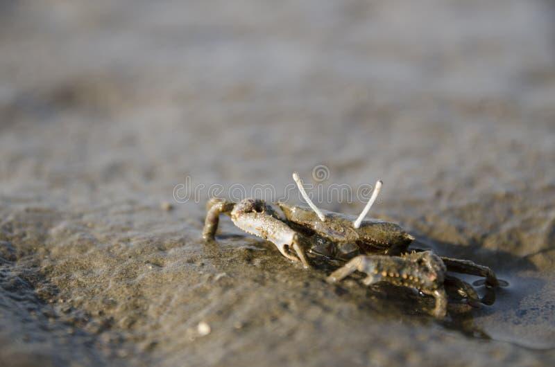 Krabbe gefunden in Gaomei-Sumpfgebieten lizenzfreie stockfotos